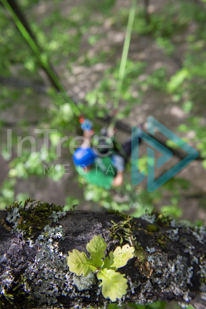 Climbing_arborist_in_oak_tree_001_7375