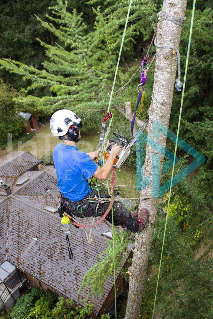 Protected: Climbing_arborist_in_tree_using_chainsaw_to_cut_branches_001_1236