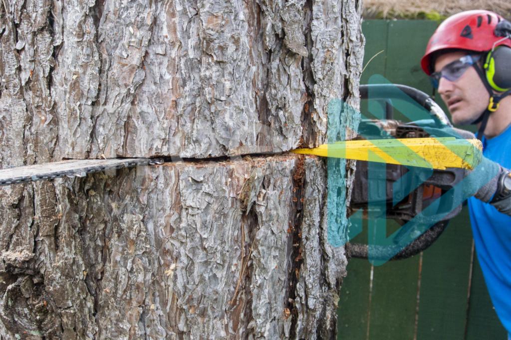 Protected: Felling-wedge-in-back-cut-as-arborist-fells-tree-InTree-arborist-image-001-9903