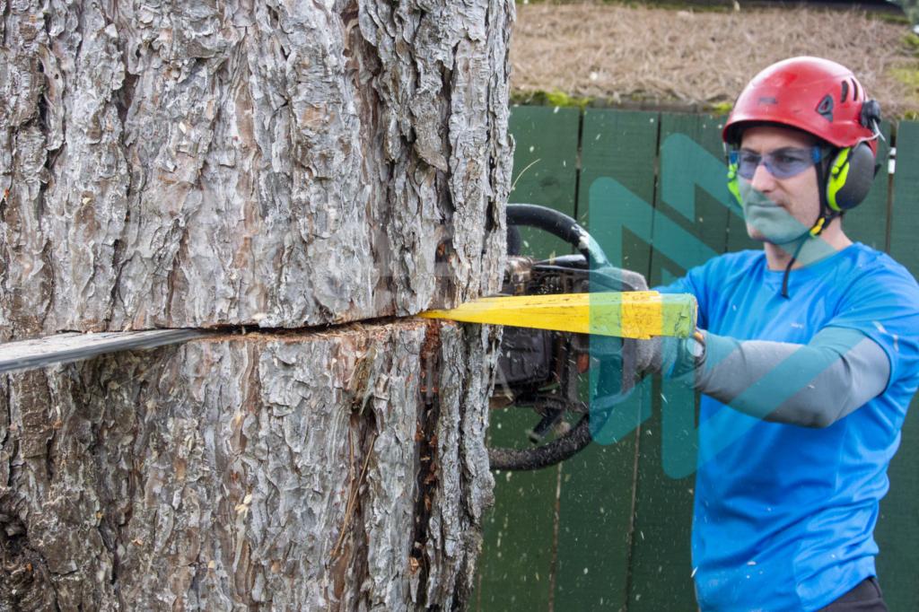 Protected: Felling-wedge-in-back-cut-as-male-arborist-fells-tree-InTree-arborist-image-001-9904