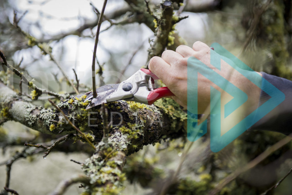 Protected: Hand-pruners-being-used-to-prune-fruit-tree-InTree-arborist-image-001-5666