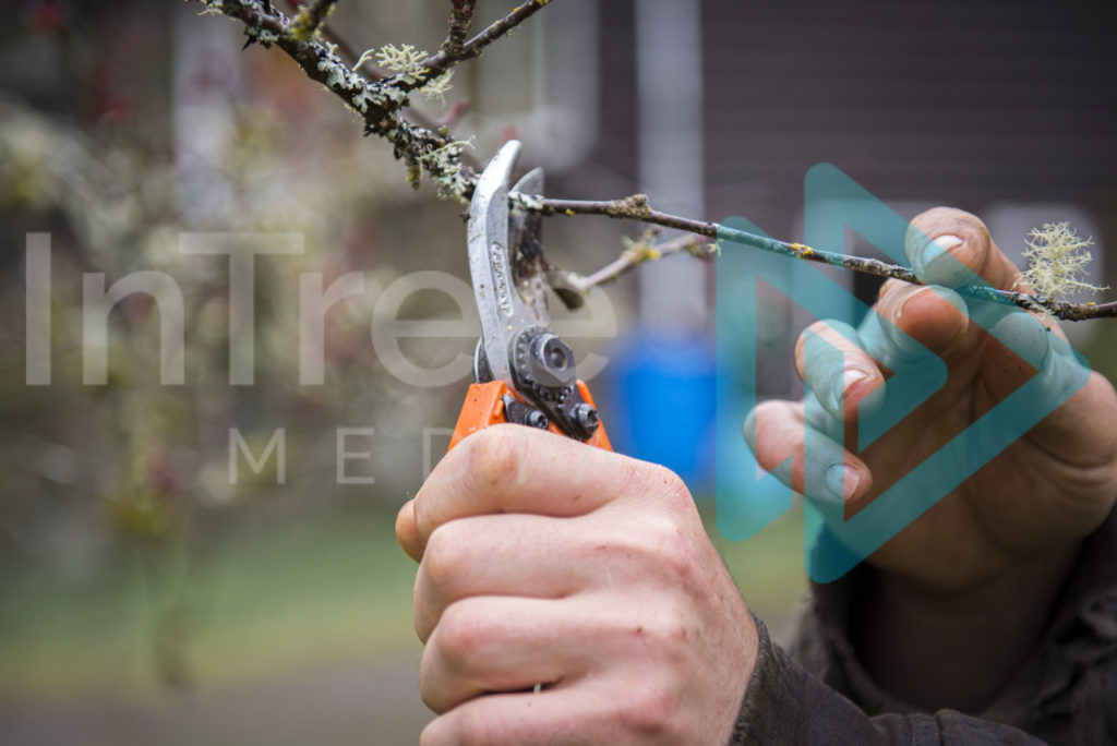 Protected: Hand-pruners-being-used-to-prune-fruit-tree-hand-holding-branch-InTree-arborist-image-001-5671