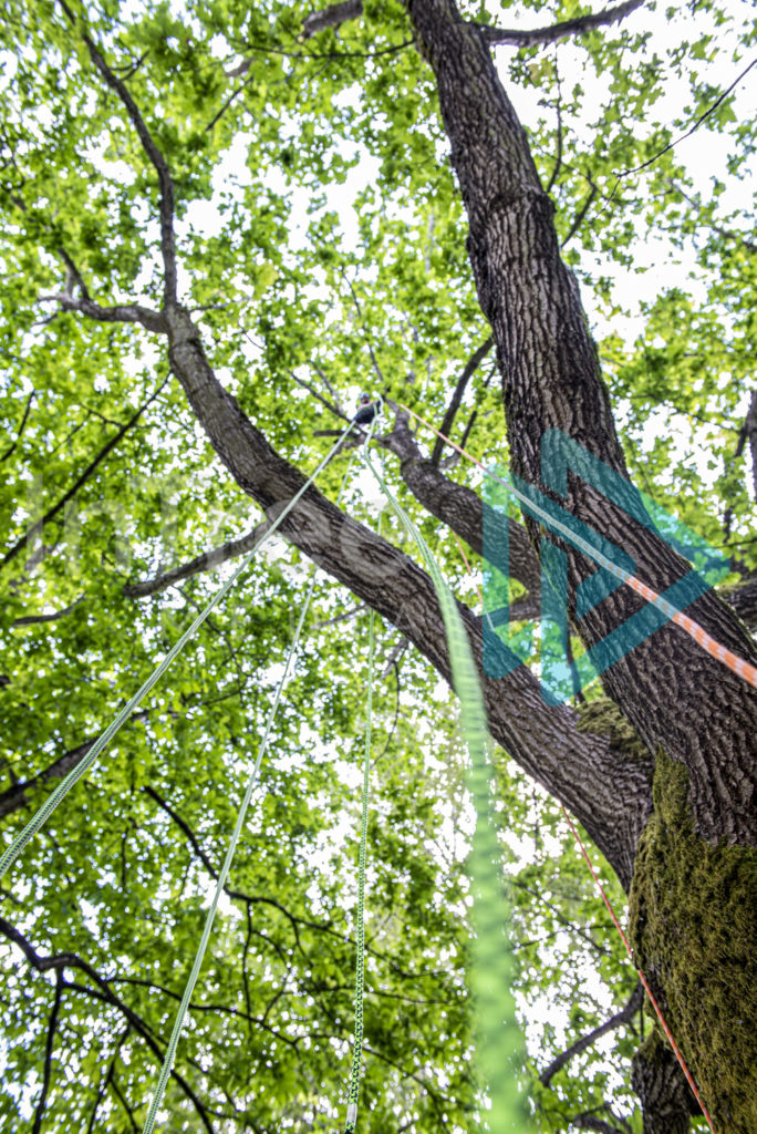 Looking_up_ropes_to_a_Climbing_arborist_in_tree_001_7251