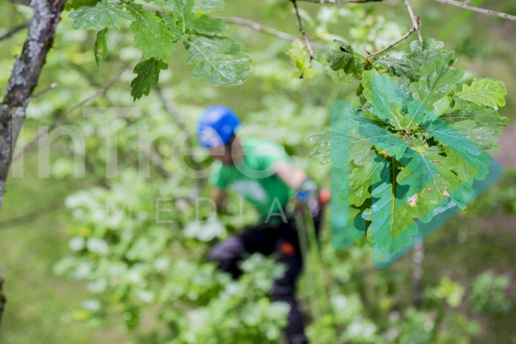 Oak_tree_with_climbing_arborist_001_7309