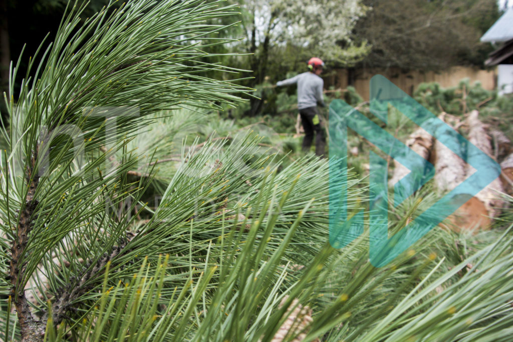 Protected: Pine-needles-arborist-stacking-wood-in-background-InTree-arborist-image-001-9950