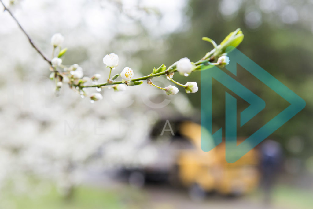 Protected: White-fruit-tree-blossom-chipper-blurred-in-background-InTree-arborist-image-001-5681