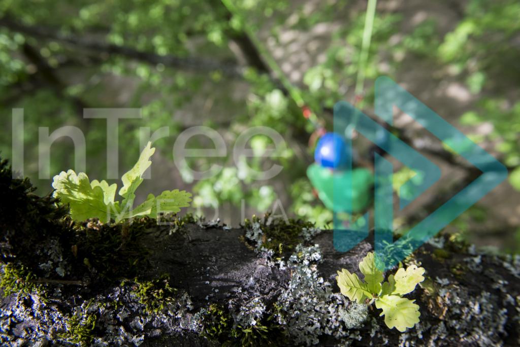 looking_down_at_arborist_in_oak_tree_001_7373